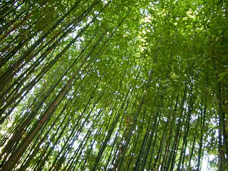 Bambus auf dem Campingplatz