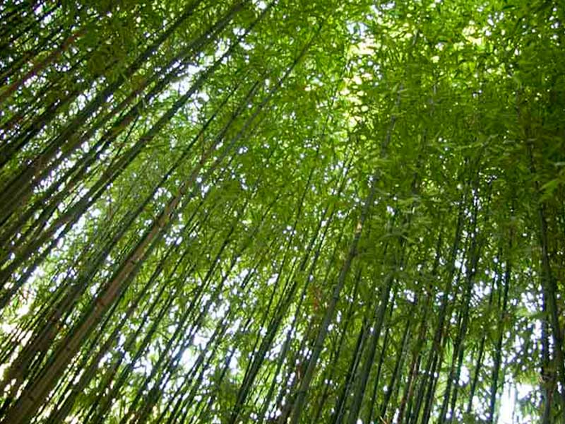 bamboos at the campsite
